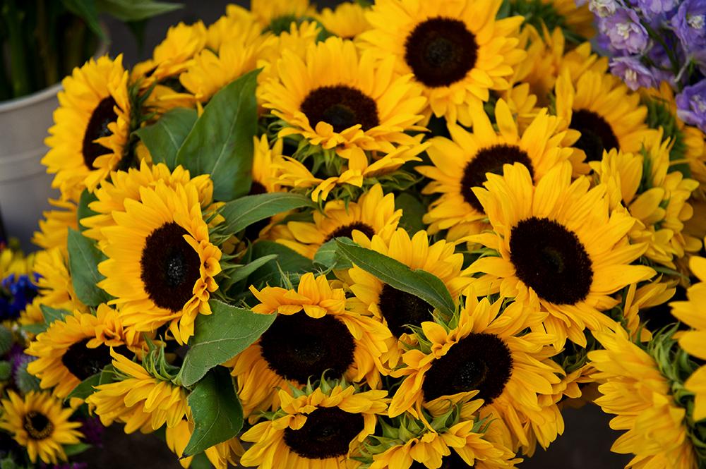 sunflower, flowers, summer
