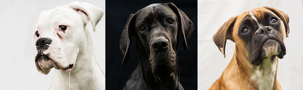 dog, cute, love, dogge, schnauzer, boxer