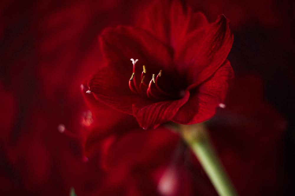 red, winter, flowers, amaryllis