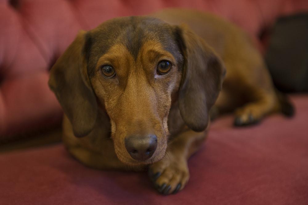 fabio, dackel, dachshund, hot dog, irina hofer, cute, dog, pet
