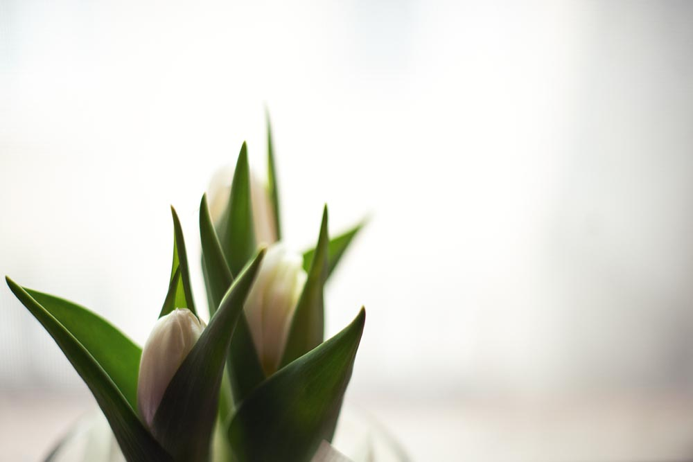 spring, tulips, flowers, white