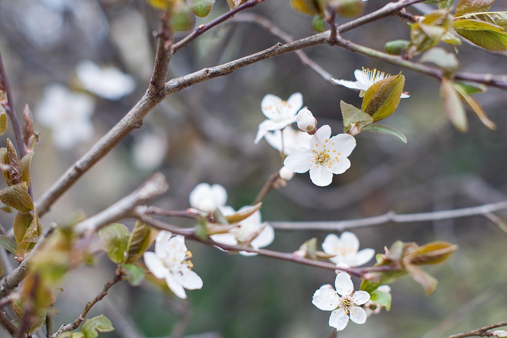 spring, vienna, blossom, setagaya park, 1190