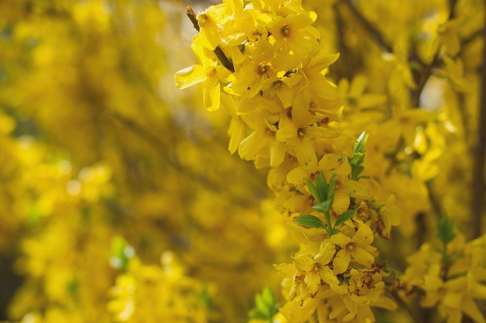 nature, yellow, spring, flowers, sun