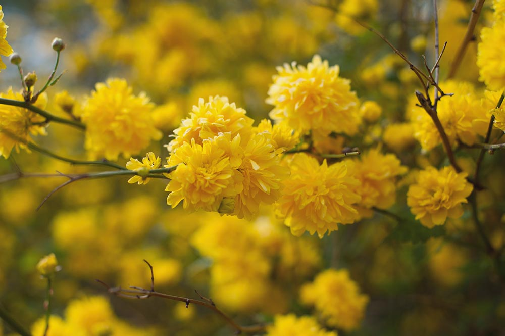 nature, yellow, spring, flowers, sun