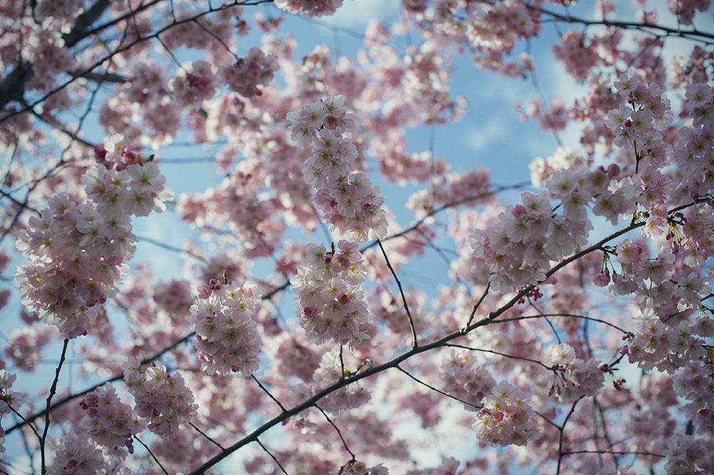 cherry blossom, spring, vienna, sakura, stadtpark