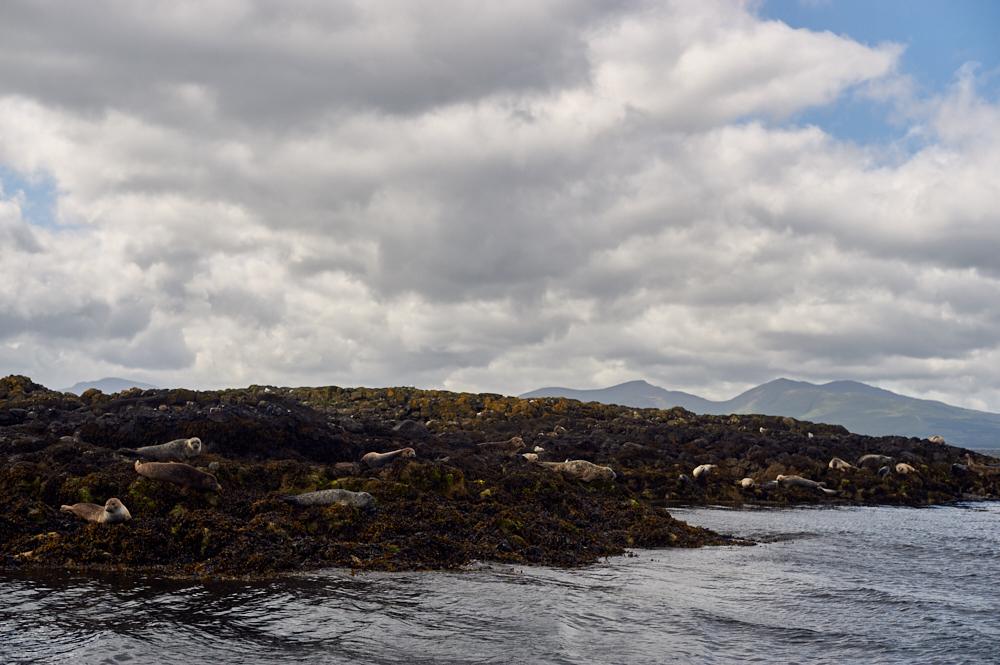 oban, scotland, highlands, bay of oban, seal, baby, ocean, uk, cute