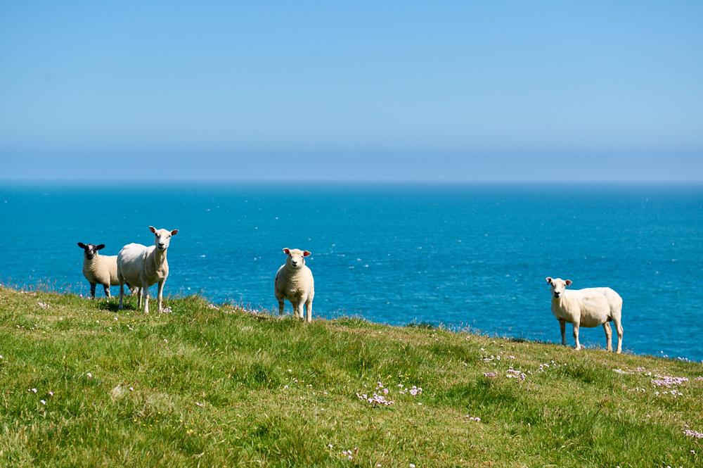 Friendly sheep greeting me in Shetland